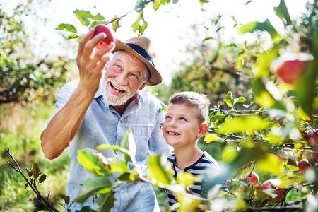 Ein älterer Mann mit Enkel, der im Herbst Äpfel im Obstgarten pflückt.
