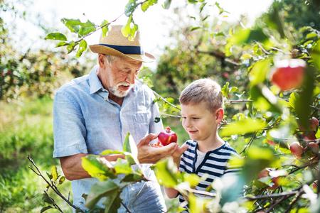 Starszy mężczyzna z wnukiem zbiera jabłka w sadzie jesienią.