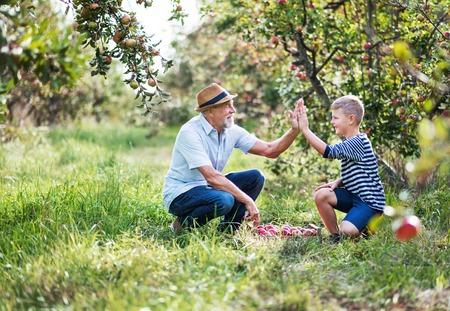 Un hombre mayor con un nieto pequeño recogiendo manzanas en el huerto en otoño, dando cinco.