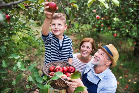 A senior couple with small grandson picking apples in orchard. Standard-Bild - 111260421