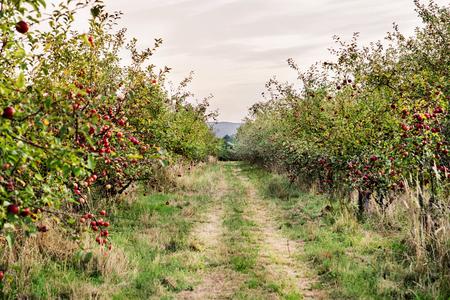 Manzanas maduras en árboles en huerto en otoño.