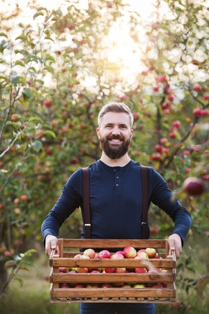 A mature man standing in orchard in autumn, holding a box full of apples.