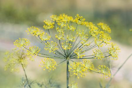 Uno sfondo di fiori di aneto nel periodo estivo.