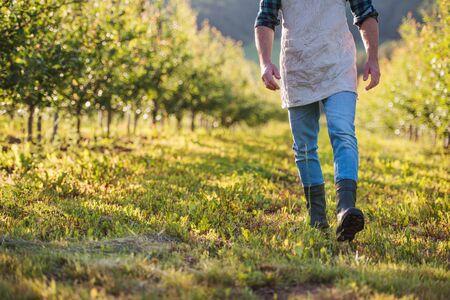 Ein Mittelteil eines reifen Bauern, der draußen im Obstgarten spazieren geht. Platz kopieren. Standard-Bild