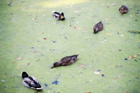 A group of ducks swimming in water on a pond in autumn park. Фото со стока