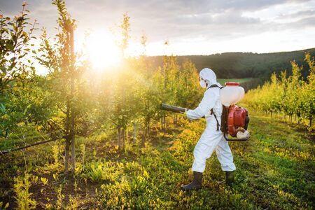 Un agriculteur à l'extérieur dans un verger au coucher du soleil, utilisant des pesticides chimiques. Banque d'images