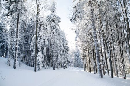 Snow-covered coniferous trees in forest in winter. Фото со стока