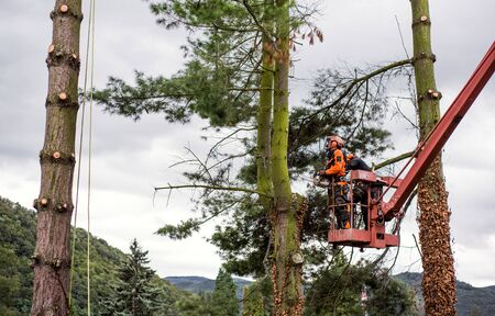 Arborist men with chainsaw and lifting platform cutting a tree.