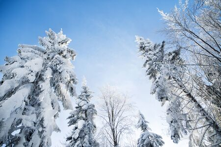 A low angle view of treetops of snow-covered coniferous trees in forest in winter.