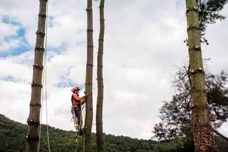 Arborist man with harness cutting a tree, climbing.