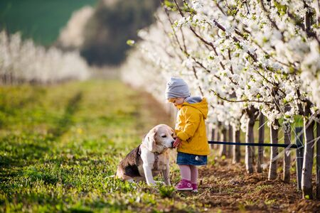 A small toddler girl with a dog in orchard in spring, playing.