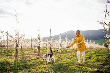A senior woman with a pet dog on a walk in spring orchard nature. Stockfoto