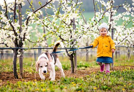 A small toddler girl with a dog in orchard in spring, walking.