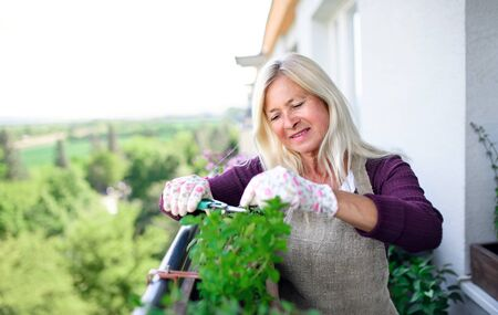 Senior woman gardening on balcony in summer, cutting herbs.