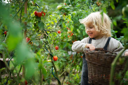Small boy collecting cherry tomatoes outdoors in garden, sustainable lifestyle concept. Foto de archivo