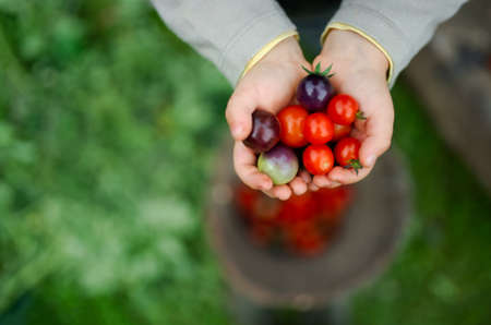 Unrecognizable child holding cherry tomatoes outdoors in garden, sustainable lifestyle concept.