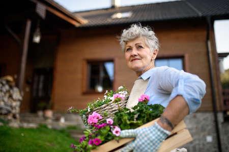 Senior woman gardening in summer, carrying flowering plants.