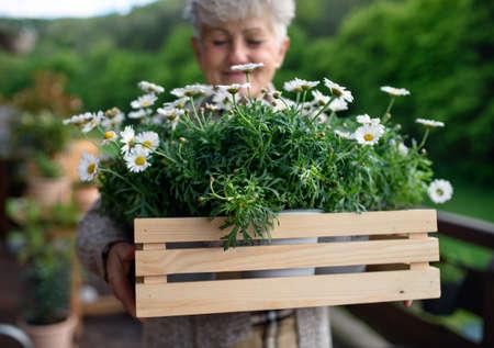 Senior woman gardening on balcony in summer, holding flowering plants.