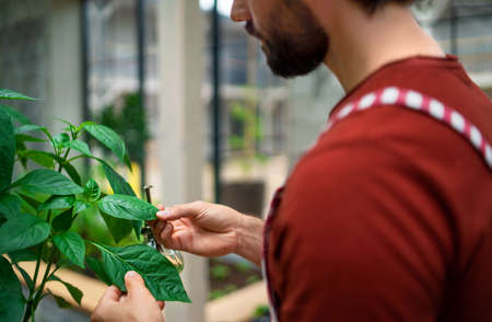 Unrecognizable mature man gardener working in greenhouse.