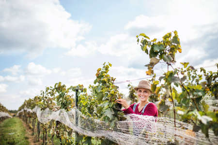 Woman worker collecting grapes in vineyard in autumn, harvest concept.
