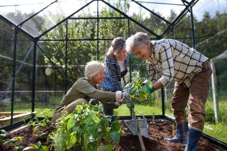 Senior woman friends planting vegetables in greenhouse at community garden. 免版税图像