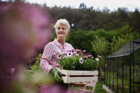 Senior woman florist carrying crate with planted flowers outdoors in garden. 免版税图像