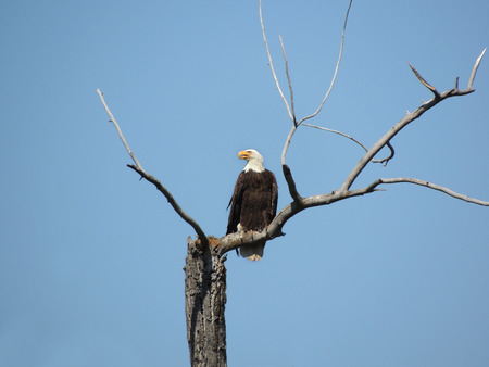 american eagle: Bald American eagle on tree branch