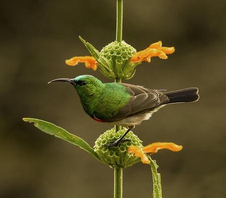 sunbird: Lesser Double-Collared Sunbird