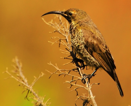 sunbird: Female Malachite Sunbird
