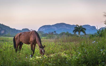 Horse in Vinales Valley, UNESCO, Vinales, Pinar del Rio Province, Cuba, West Indies, Caribbean, Central America