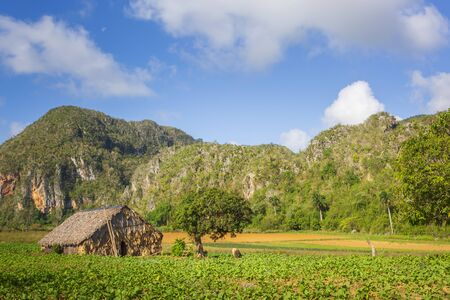 Tobacco field in Vinales National Park, UNESCO, Pinar del Rio Province, Cuba, West Indies, Caribbean Stock Photo