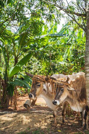 Oxcart  Bulls in Vinales National Park, UNESCO, Pinar del Rio Province, Cuba, West Indies, Caribbean