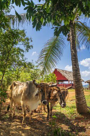 Vinales, Cuba - March 26 2019: Oxcart / Bulls in Vinales National Park, UNESCO, Pinar del Rio Province, Cuba, West Indies, Caribbean Editorial
