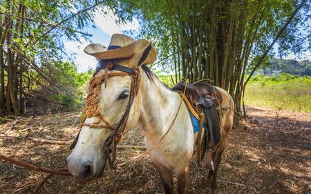 Horse with cowboy hat in Vinales, UNESCO, Pinar del Rio Province, Cuba, West Indies, Caribbean, Central America