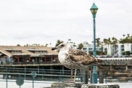 Los Angeles, USA - May 31 2018: Seal Gull on Redondo Landing Pier, Redondo Beach, California, United States of America, North America Editorial
