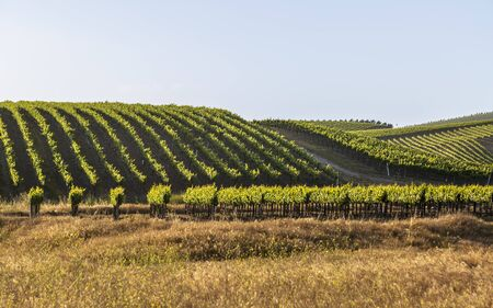 Rows of lush vineyards on a hillside, Napa Valley, California, United States of America, North America