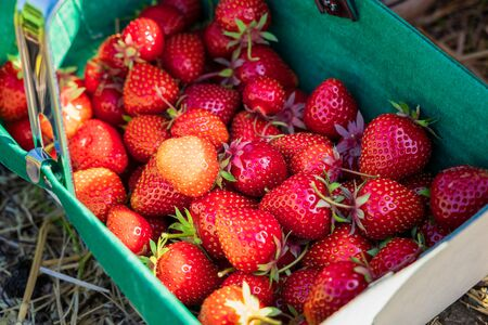 Fresh strawberry plants in the farm landscape, Rural farm with strawberries bush, Strawberry fruits on the branch, Agriculture farm of the strawberry field of biotechnology.