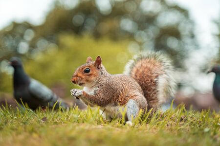 Cute little squirrel in the park with a pigeon surrounded.