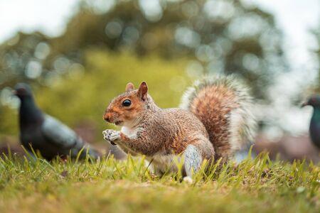 Nettes kleines Eichhörnchen im Park mit einer Taube umgeben
