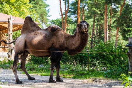 RIGA, LATVIA - AUGUST 16, 2019: Brown camel at Riga National Zoological Garden, Zoo Mezaparks Riga Latvia Europe