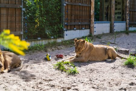 RIGA, LATVIA - AUGUST 16, 2019: Female lion at Riga National Zoological Garden, Zoo Mezaparks Riga Latvia Europe