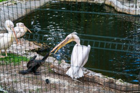 RIGA, LATVIA - AUGUST 16, 2019: East Great Cormorant and white Pelican Riga National Zoological Garden, Zoo Mezaparks Riga Latvia Europe
