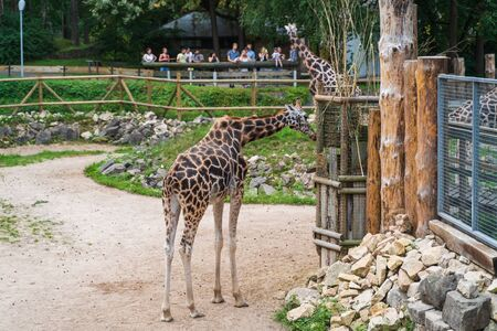 RIGA, LATVIA - AUGUST 16, 2019: Giraffes at Riga National Zoological Garden, Zoo Mezaparks Riga Latvia Europe Editorial