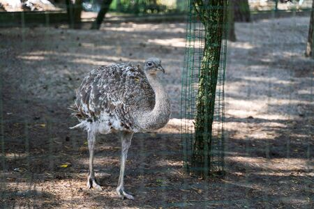 RIGA, LATVIA - AUGUST 16, 2019: Grey Emu bird at Riga National Zoological Garden, Zoo Mezaparks Riga Latvia Europe