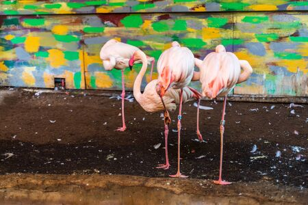 RIGA, LATVIA - AUGUST 16, 2019: Pink Flamingo at Riga National Zoological Garden, Zoo Mezaparks Riga Latvia Europe