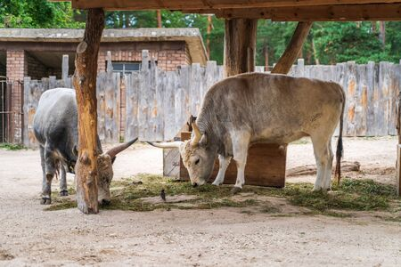 RIGA, LATVIA - AUGUST 16, 2019: Hungarian Grey Cattle at Riga National Zoological Garden, Zoo Mezaparks Riga Latvia Europe Editorial