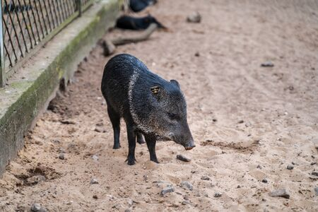 RIGA, LATVIA - AUGUST 16, 2019: Collared Peccary at Riga National Zoological Garden, Zoo Mezaparks Riga Latvia Europe