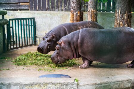 RIGA, LATVIA - AUGUST 16, 2019: Hippopotamus eating at Riga National Zoological Garden, Zoo Mezaparks Riga Latvia Europe
