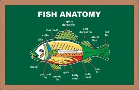 Anatomía De Pescado, Ilustración Vectorial Ilustraciones Vectoriales ...