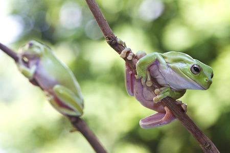 Australische Groene Kikkerkikker